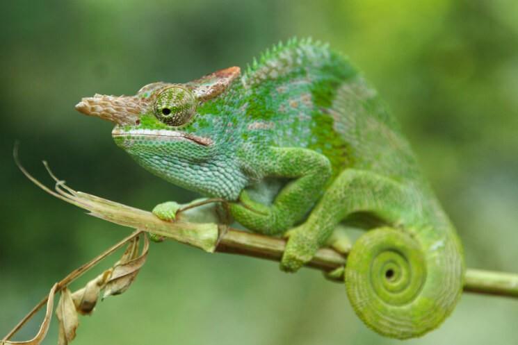 Kameleont
