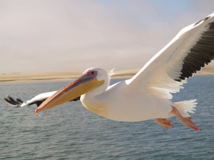 100 djur att se innan du d r del 3 - Fotos de pelicanos ...