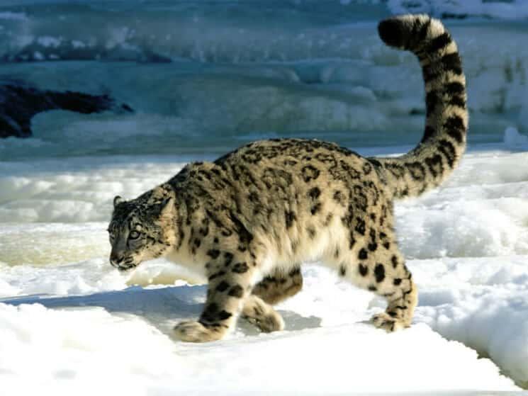 Snöleopard