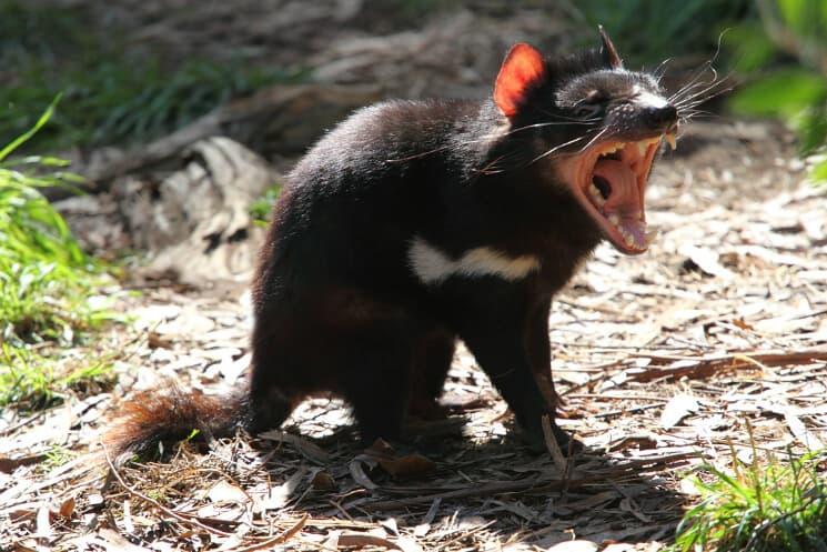 Tasmansk djävul