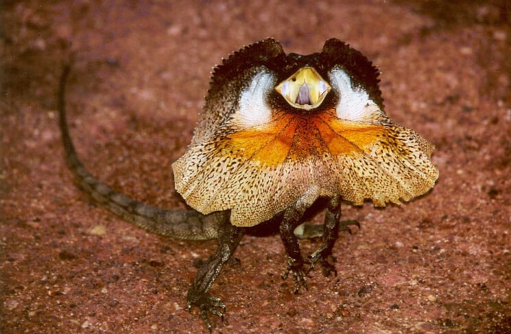 frilled-necked lizard