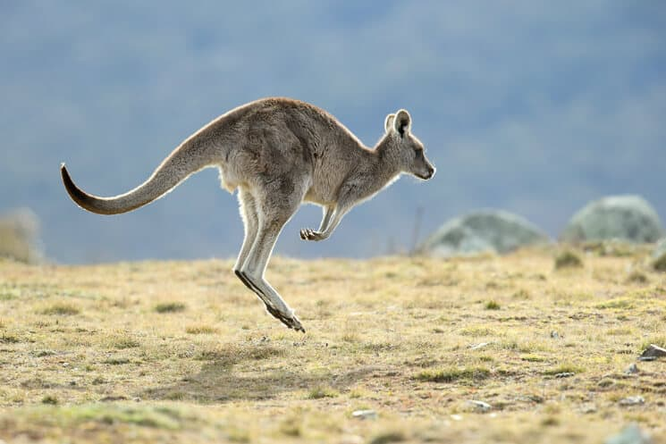 kangaroo bucket list