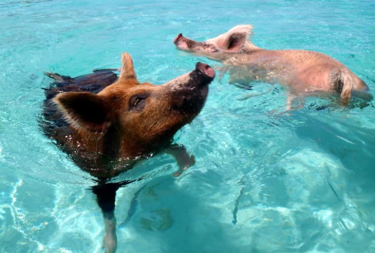 Bada med grisar i Bahamas