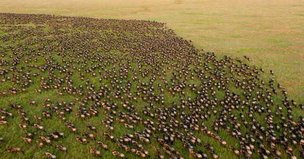 Den årliga migrationen