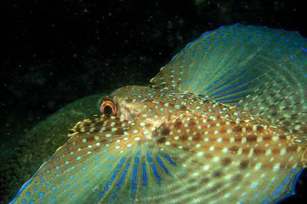 Flying-Gurnard