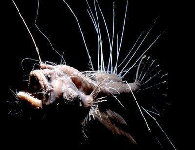 fanfin-seadevil