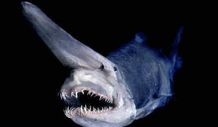 goblin-shark