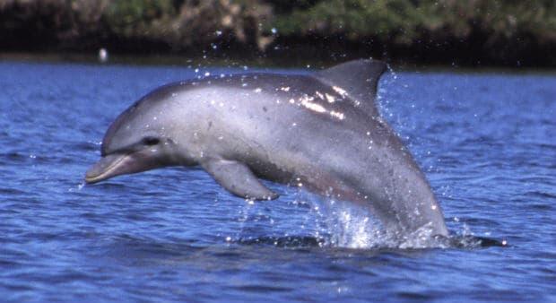 Zanzibar delfin